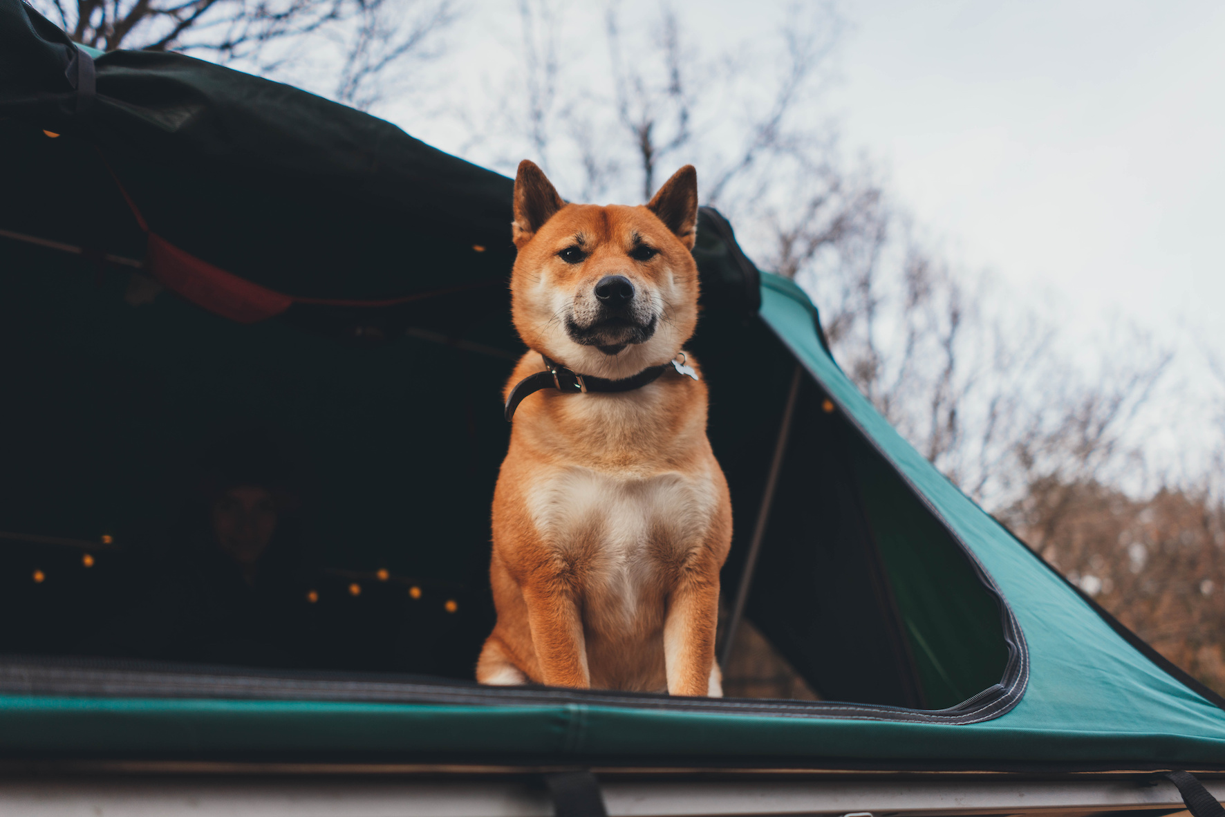Cute Shiba Inu traveler dog in camping tent looking at camera in mountains, weekend in forest, Atmospheric lanterns in a camp tent